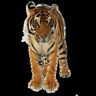 PNG images: Tiger