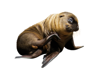 PNG images: seal, sealion