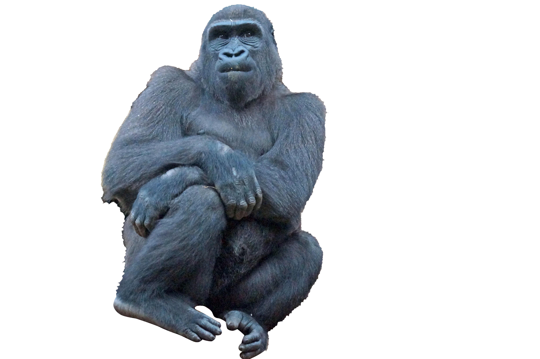gorilla-859468_Clip