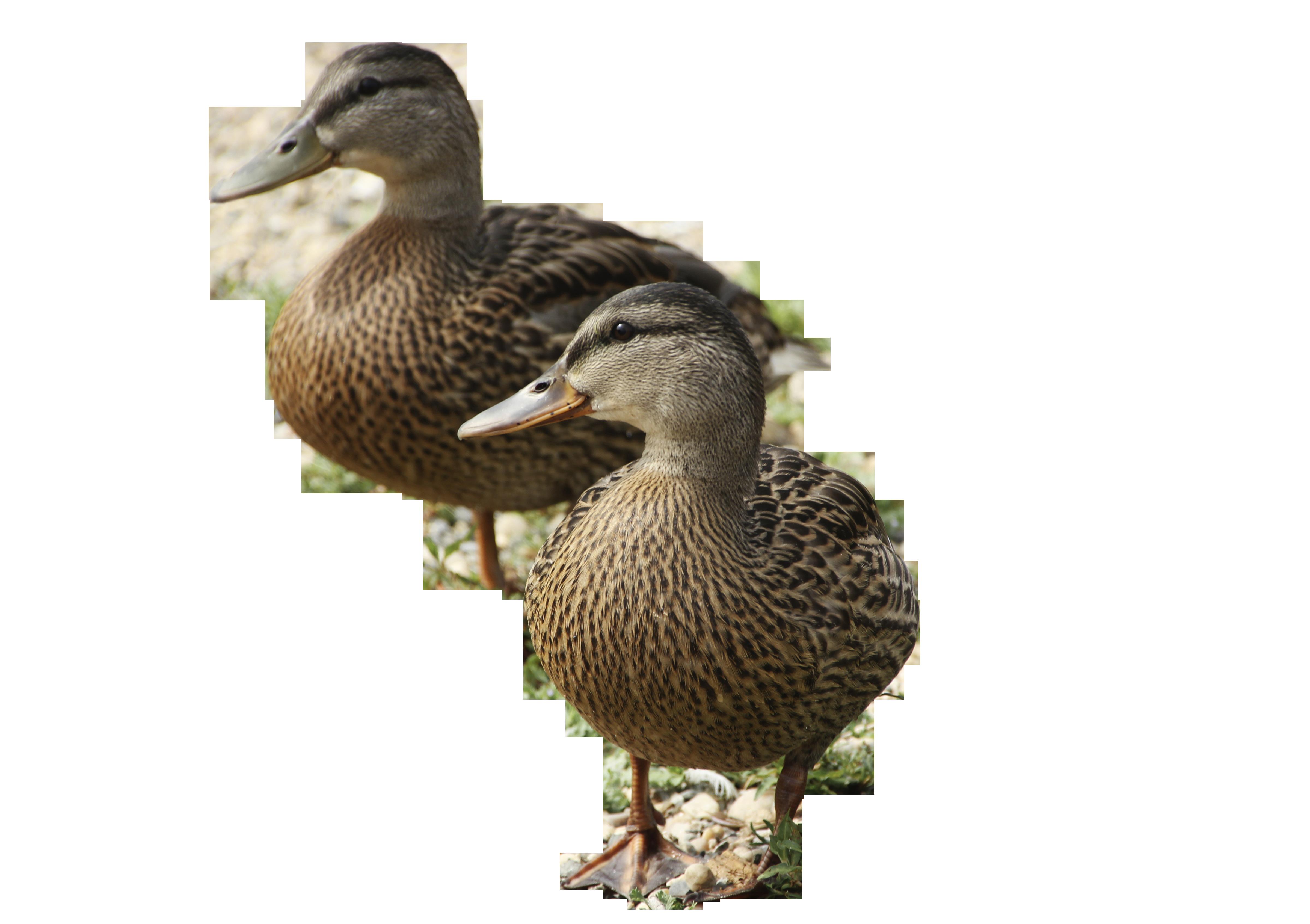 ducks-838929_Clip