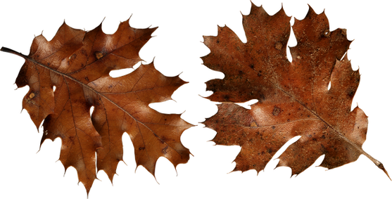 Autumn leaf, free PNGs