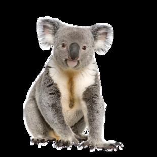 Koala PNGs