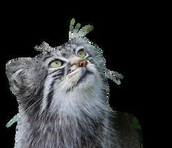 pallas-cat-275930_Clip