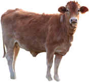 Free cow png images.