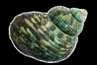 seashell-1326653__340.png
