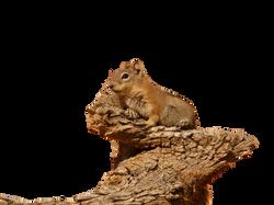 golden-mantled-ground-squirrel-4587_Clip