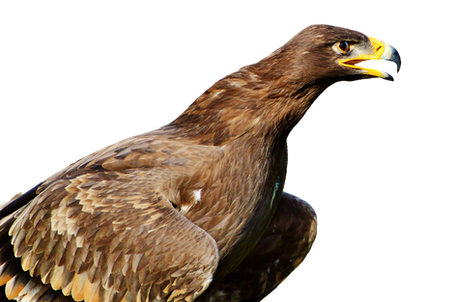 PNG images: eagle, flying, birds, felcon