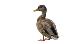 duck-682811_Clip