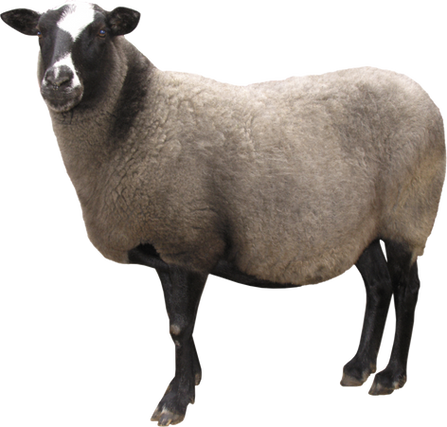 Free sheep png images.