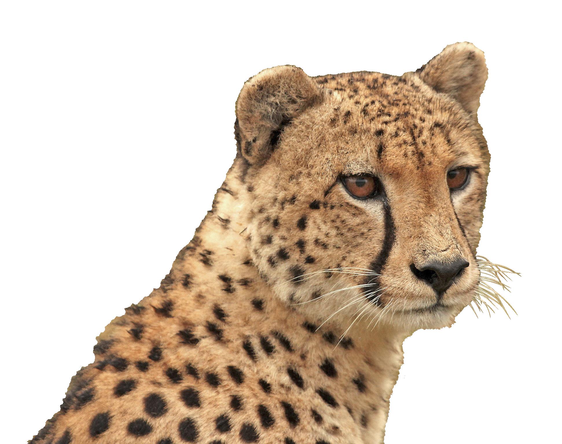 cheetah-1036449_Clip