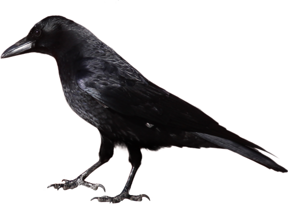 Free crow png images.