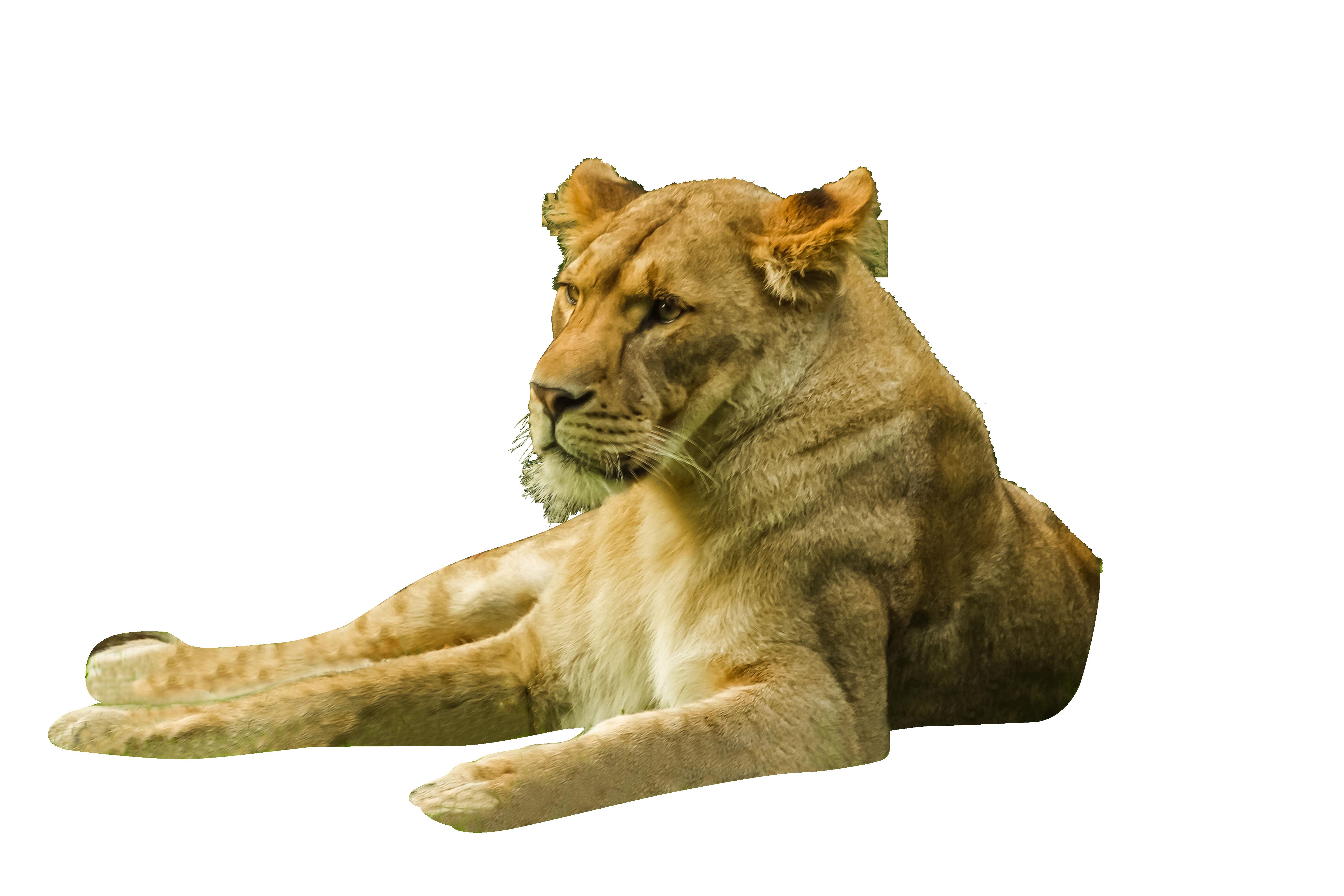 lion-857618_Clip