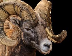 bighorn-ram-204694_Clip