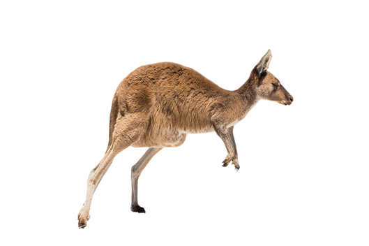 PNG images: Kangaroo