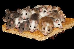 mice-800875_Clip
