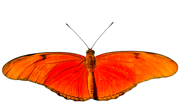 PNG images: butterfly
