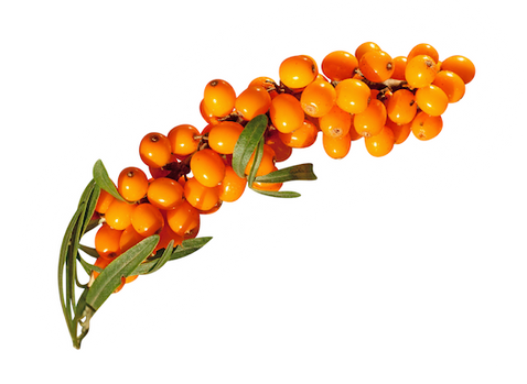 Here on Free PNGs you can browse through our complete collection of nature PNG images. all our PNGs are free to download and use. All's we ask for is a reference to our site. Check out the latest Sea-buckthorn PNG images.