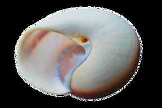 seashell-1326468__340.png
