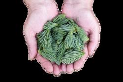 pine-leaves-691639_Clip
