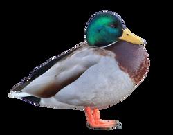 duck-255185_Clip