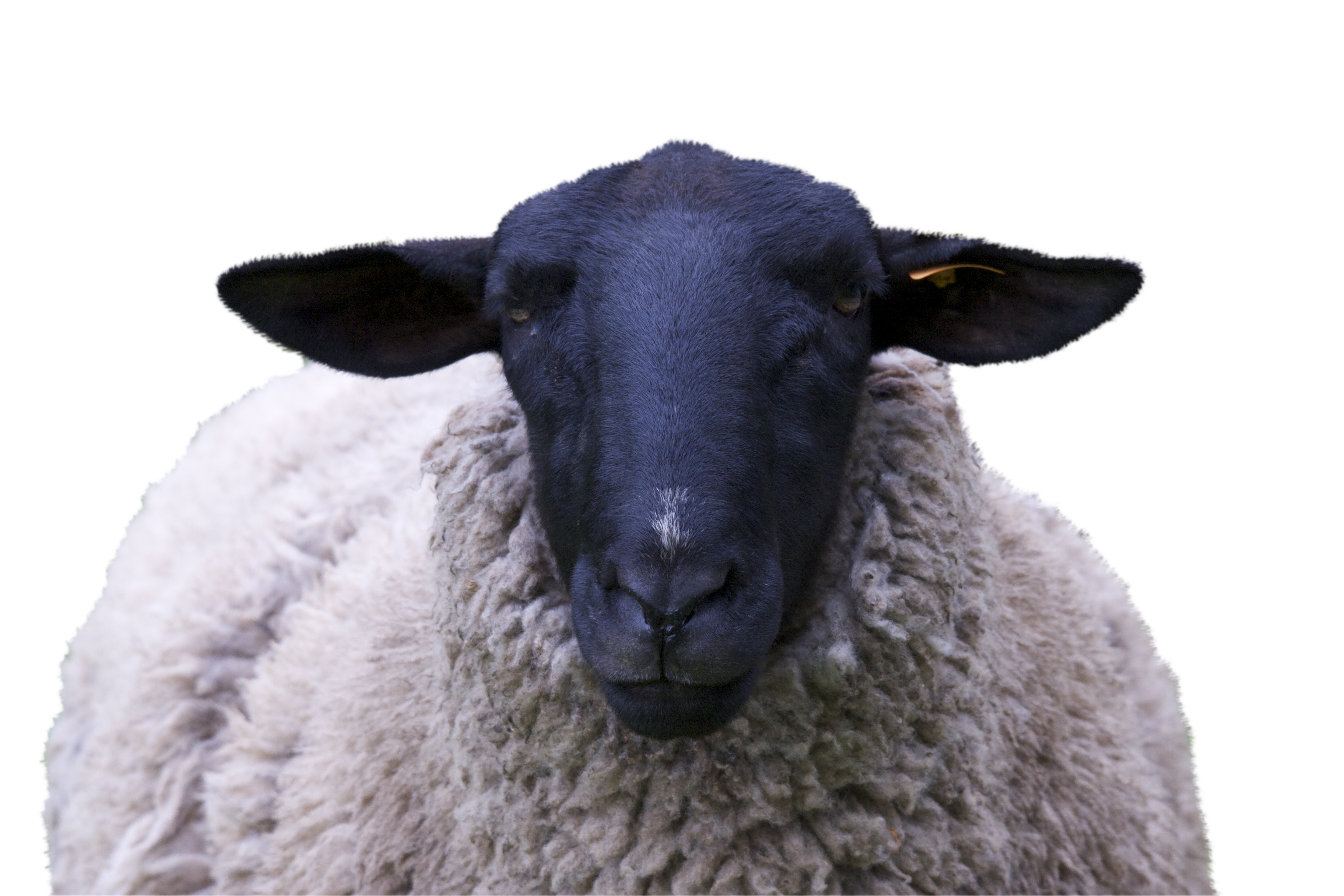 sheep-967316_Clip