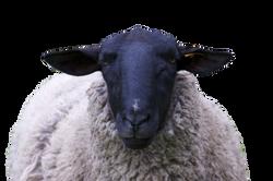 sheep-967316_Clip
