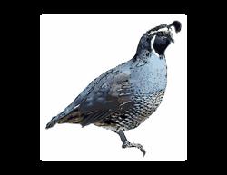 Calif_quail03 (1)