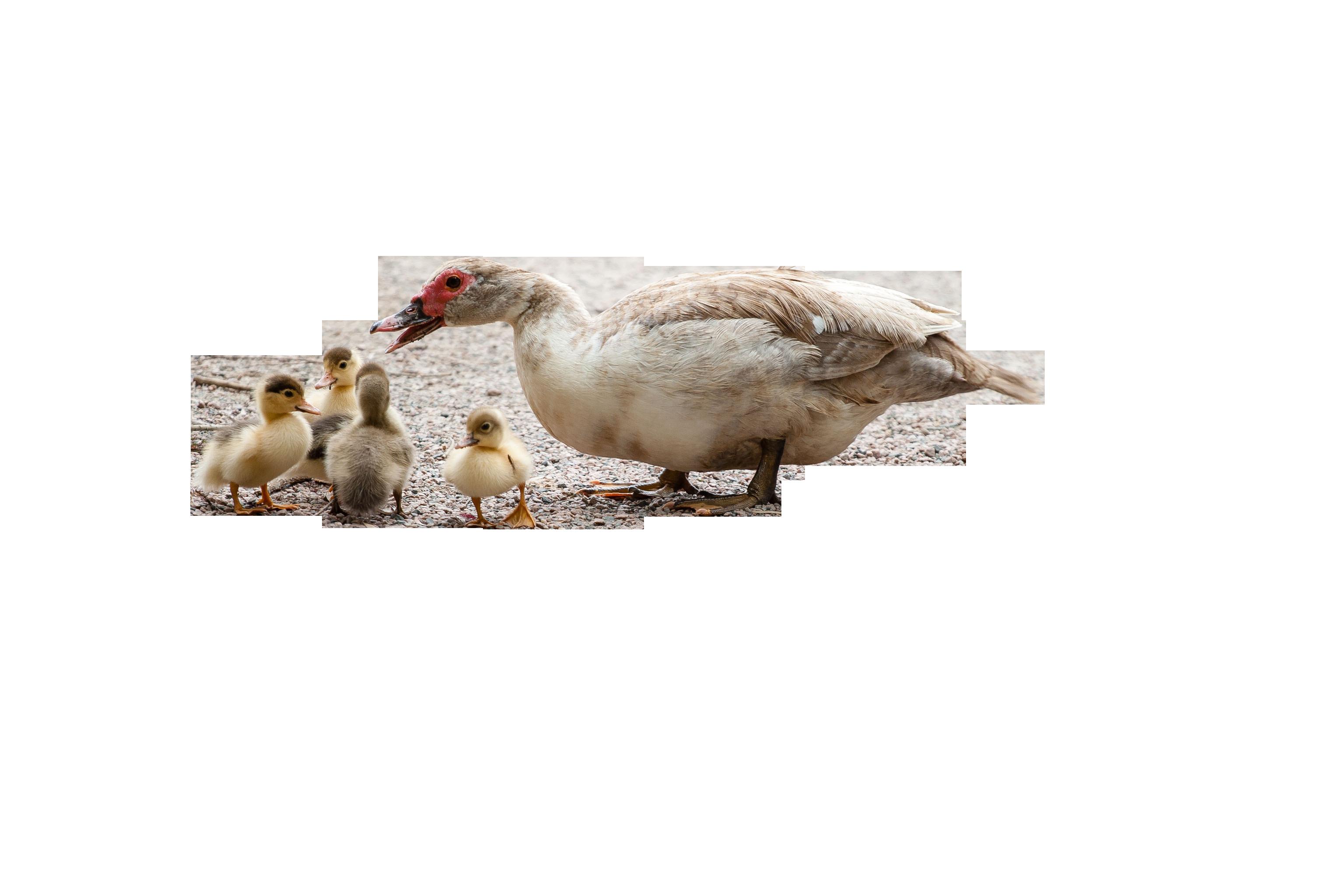 ducks-204334_Clip