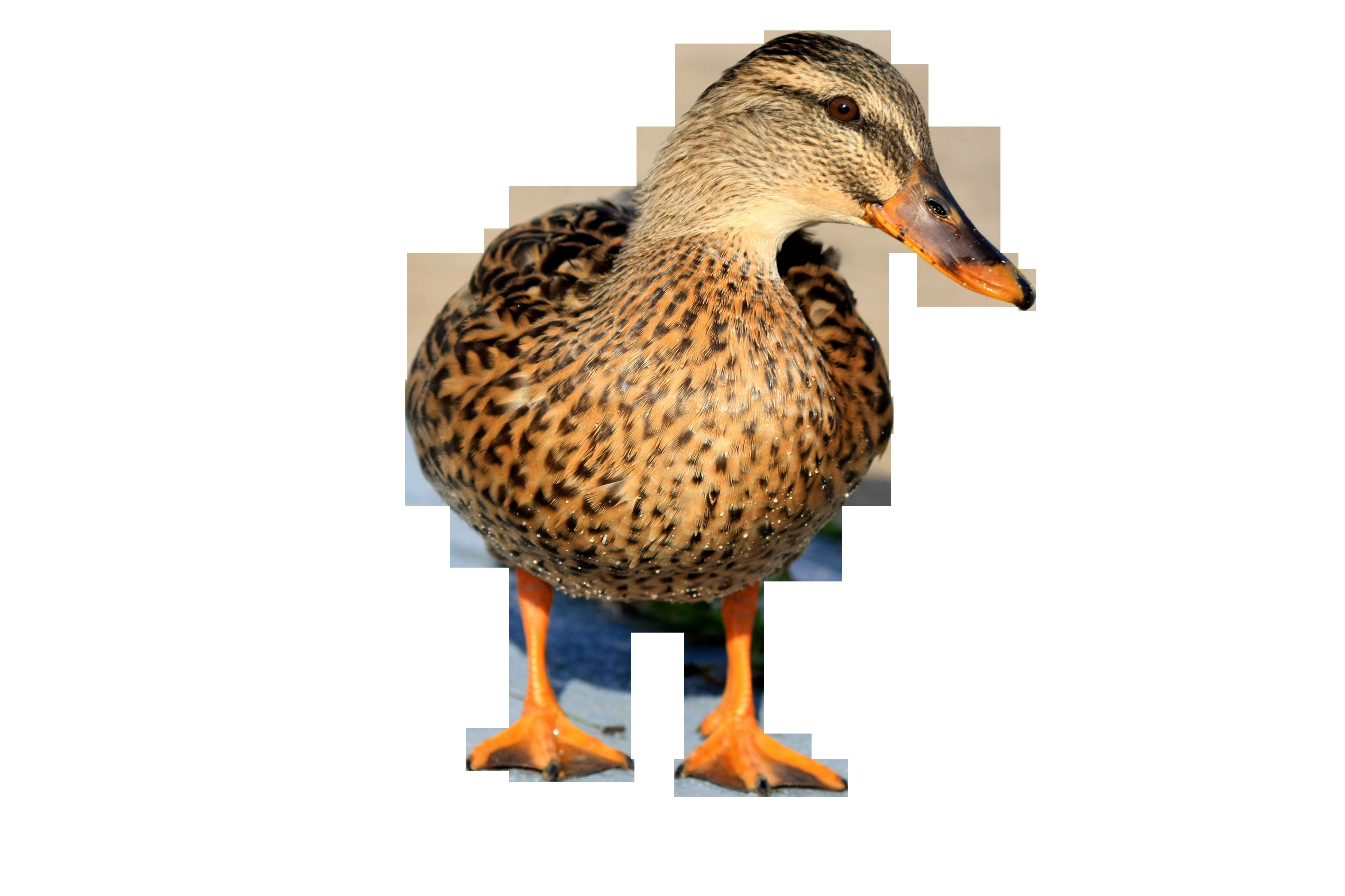 duck-1147571_Clip
