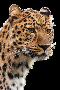 cheetah-19621_Clip