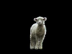 sheep-393366_Clip
