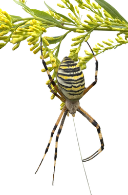 zebraspinne-60624_Clip