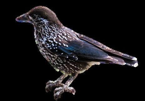 PNG images, bird, birds,