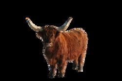 cow-535895_Clip