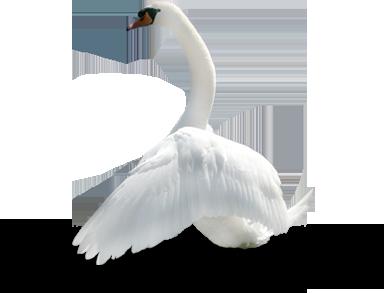 Swan transparent images