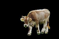 cow-982324_Clip