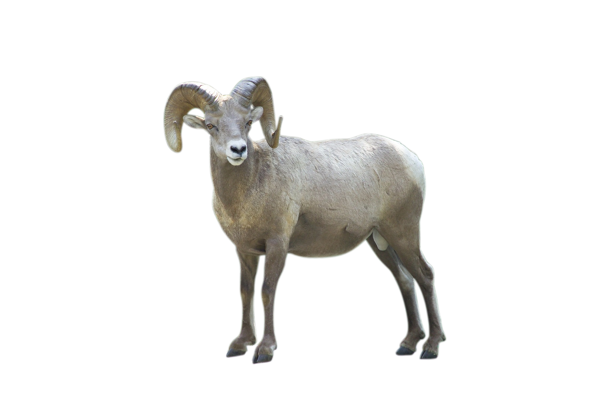 big-horn-sheep-917255_Clip