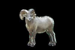 big-horn-sheep-917255_Clip
