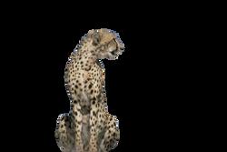 cheetah-518154_Clip