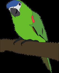 Machovka_parrot