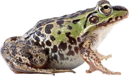 PNG images: Frog