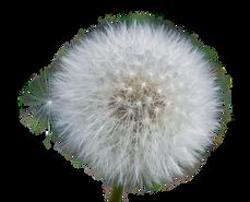 dandelion-3160651_960_720.png