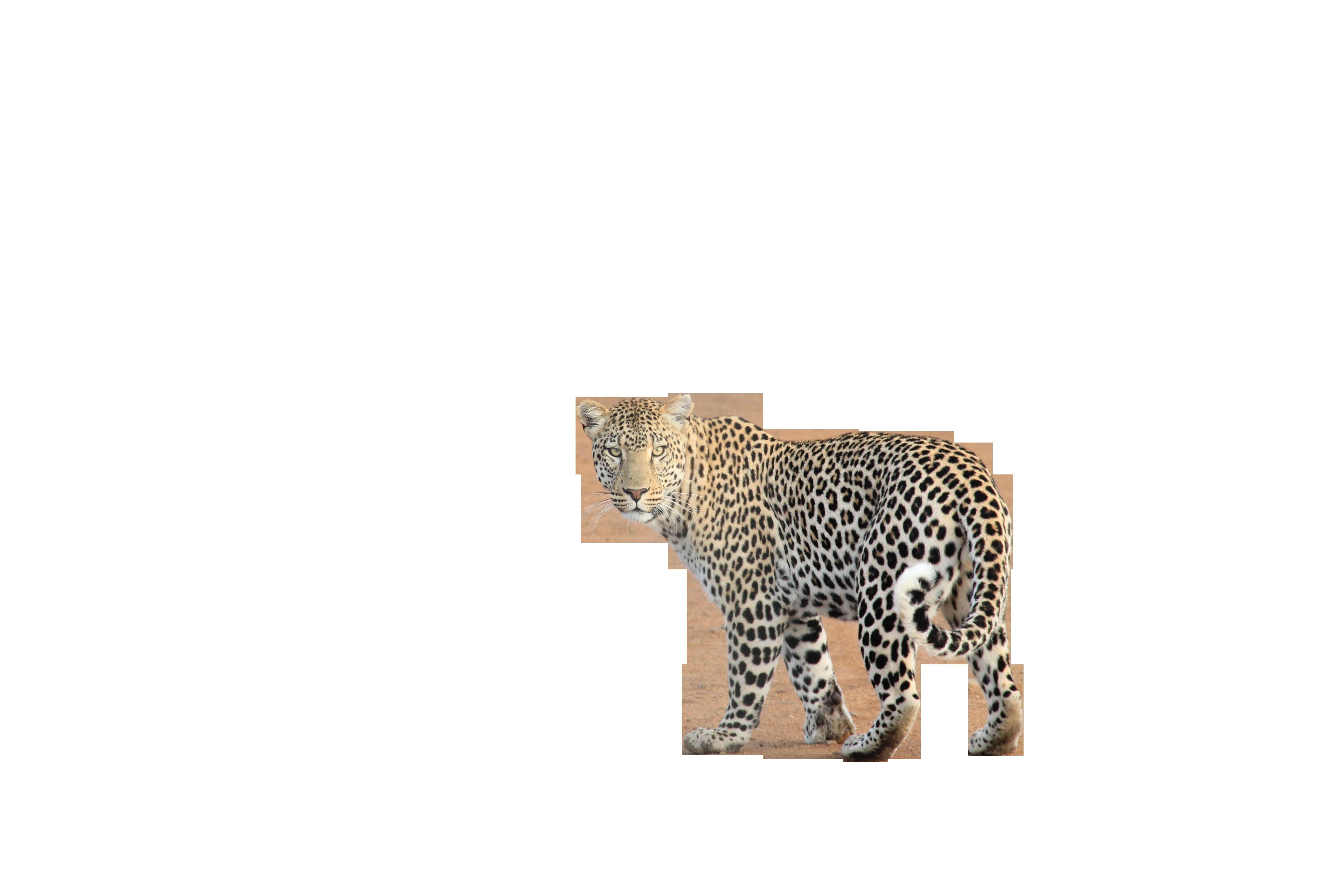 leopard-336604_Clip