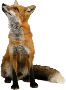 PNG images: Fox