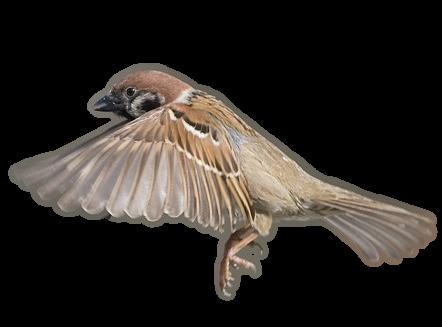 Sparrow free transparent images