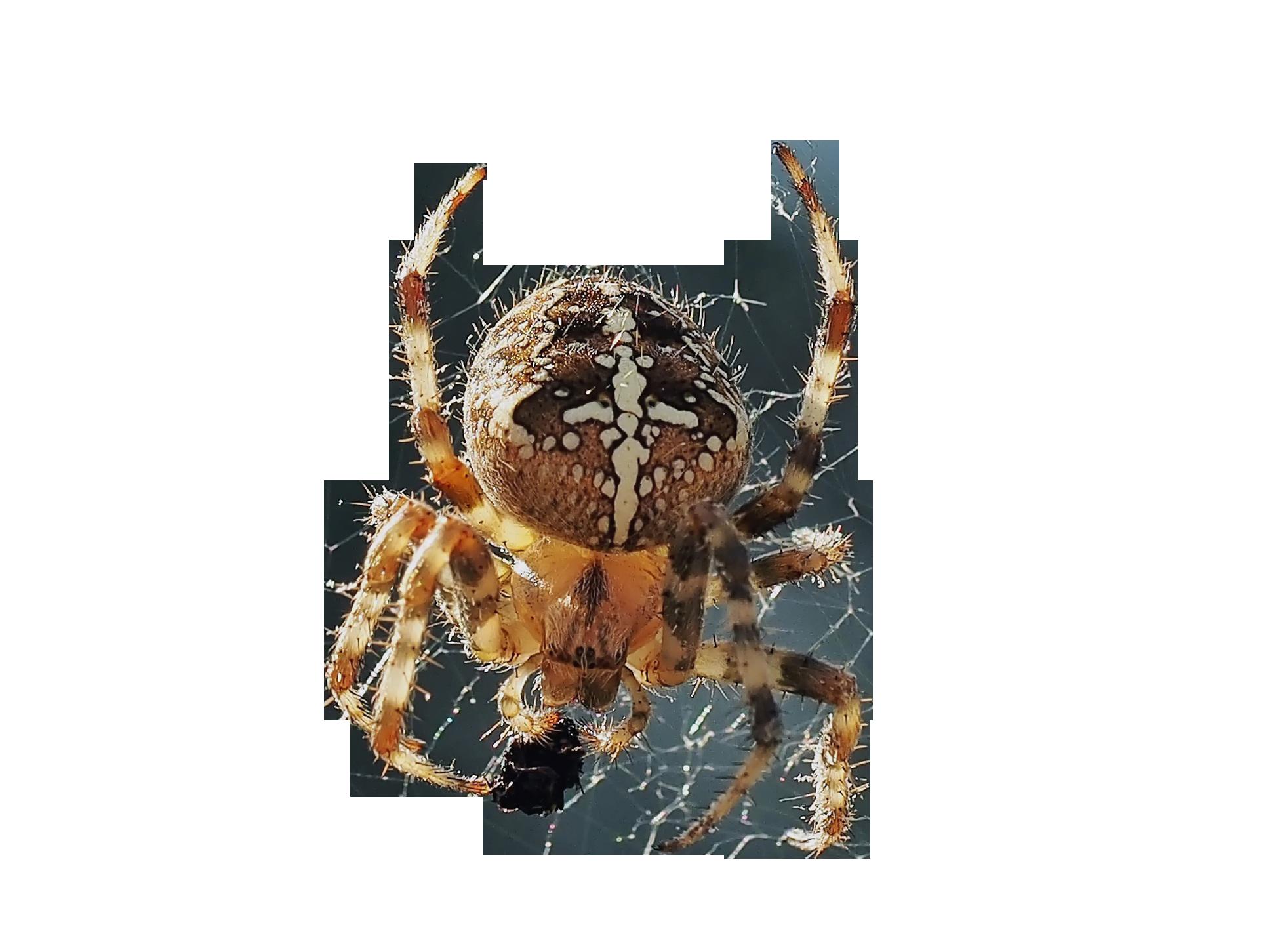 spider-1502212_Clip