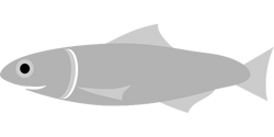 anchovy-162174__340