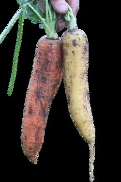 carrot-1185803_Clip