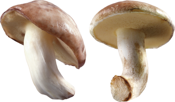 Here on FreePNGs you can browse through our complete collection of nature free PNGs. All our PNGs are free to download and use. All's we ask for is a reference to our site. Check out these mushroom PNGs