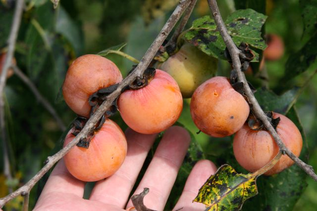 Patience with Persimmons Pays Off with Big Bucks!